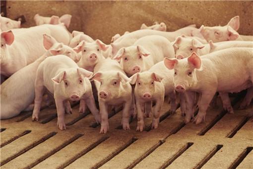 猪舍应该怎么样降温-广告主提供