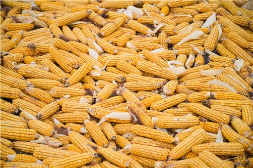 2021年八月份玉米行情預測-攝圖網