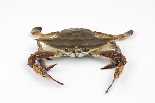 梭子蟹为什么不能清蒸-摄图网