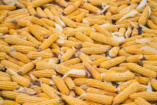 2021玉米能涨到1块5吗-摄图网
