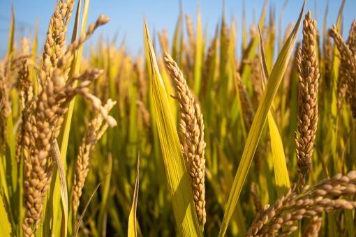 水稻价格2021年最新行情-摄图网