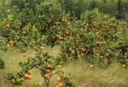 重慶武隆縣:大力發展特色林果助推農業轉型升級