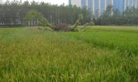 政策性水稻种植保险是怎么回事?如何投保、理赔?