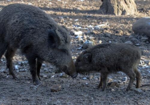 有犬齿的野猪是国家保护动物吗 它吃什么食物 破坏庄稼政府赔偿吗 肉价格多少钱一斤