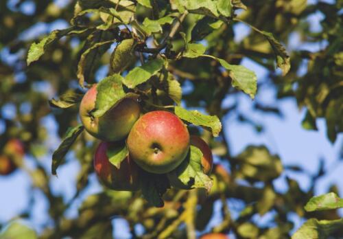 哪些树可以嫁接苹果树 什么时候嫁接合适 如何嫁接