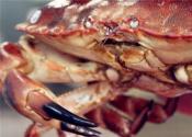 现在面包蟹价格多少钱一斤?主要产地在哪?和帝王蟹哪个好?