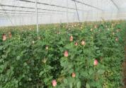 大棚种植玫瑰的成本利润如何?生长周期多久?什么时候种植采收?栽培管理要点有哪些?