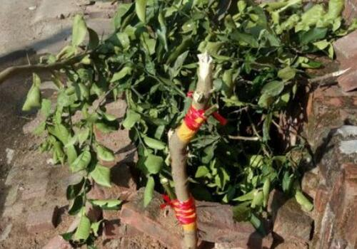 怎样提高果树嫁接成活率 什么时候嫁接最适合 怎么嫁接