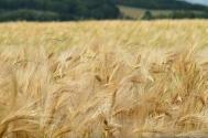 土地確權面積變多了,國家糧食直補和農資綜合補貼會相應增加嗎?