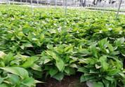 """""""生命之花""""绿萝的作用有哪些?有毒吗?养殖方法和注意事项是什么?"""