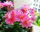 露薇花的养殖方法是什么?叶子扦插能活吗?什么时候开花?