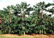 【图片】咖啡树起源于哪里?种植条件是什么?自己家里能种吗?