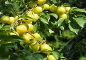 李子树的产地分布在哪些地区?嫁接时间、方法和技术是什么?