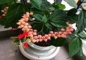 龙吐珠有毒吗?为什么不开花?怎么养开花多?
