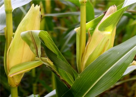 """北京:""""明星玉米品种""""鲜食玉米采收期到来,或将带动河北等贫困村致富"""