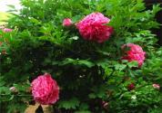 """""""国花""""牡丹花的花语是什么?如何用种子种植?具体有哪些方法?"""