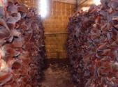 毛木耳怎么种植?毛木耳林间高产栽培方法和技术要点是什么?