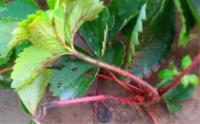 草莓种植户注意!雨后暴晴是草莓炭疽病高发期,该如何预防?