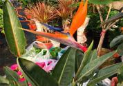 """""""天堂鸟""""鹤望兰的花语是什么?养殖方法和注意事项有哪些?能放室内吗?"""