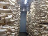 杏鲍菇怎么栽培?杏鲍菇室内和大棚栽培技术要点汇总