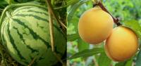 西瓜和桃子能一起吃吗?是否会中毒?