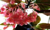 竹節海棠為什么不開花?需掌握哪些養殖方法和注意事項?