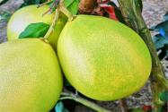 柚子的功效與作用有哪些?真能減肥?不能和什么一起吃?