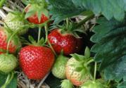 市面上什么品種的草莓最好吃?幾月可以采摘上市?