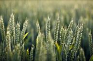 小麦一般什么时候播种?如何提高产量?