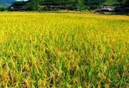 水稻育苗的播种量如何确定?播种后如何管理?