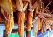 玉米品种怎么分类?主产区在哪里?