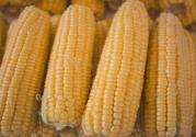 2019年玉米产需缺口扩大,后期价格走势如何?