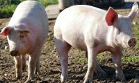 做好这4点,轻松降低养猪成本!