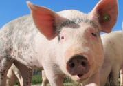 2019年-2020年的生豬養殖行情如何?怎么給它增肥?