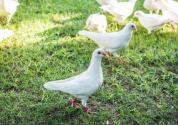 農戶發家致富的好項目:乳鴿的人工養殖技術和效益介紹!