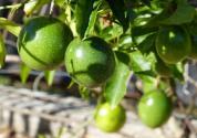 海南:百香果成了致富果