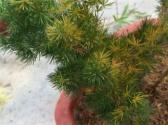 蓬萊松是什么?三個辦法解決葉子發黃問題!