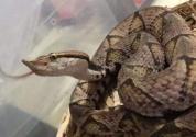 这种蛇毒性比眼镜蛇还大,一旦被咬很难生还,价格却高达上千元!