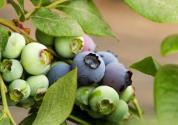 一亩地能栽多少棵蓝莓?种植技术有哪些?