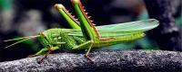 蚱蜢是益虫还是害虫