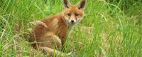 狐狸养殖成本