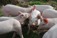 非洲猪瘟疫苗研制最新消息:取得最新进展  将有什么意义?