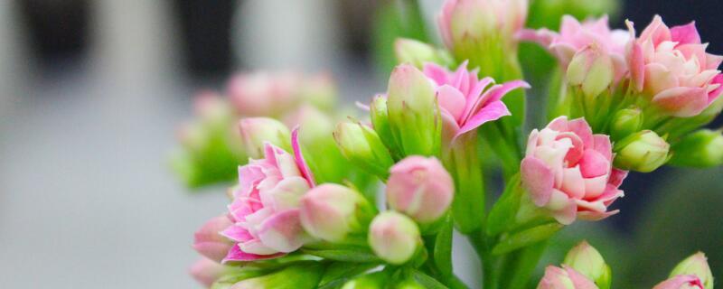 长寿花图片及养殖方法