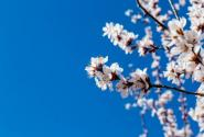 樱花的颜色有几种?可以盆栽吗?
