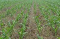 玉米除草劑價格多少錢?什么時候打最好?