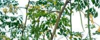 辣木种植的风险与利润