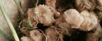 老虎姜的种植方法