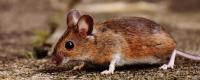 老鼠爬过的东西还能吃吗