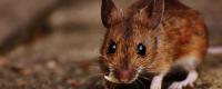 老鼠是哺乳动物吗