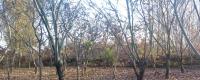 栗子树的种植方法